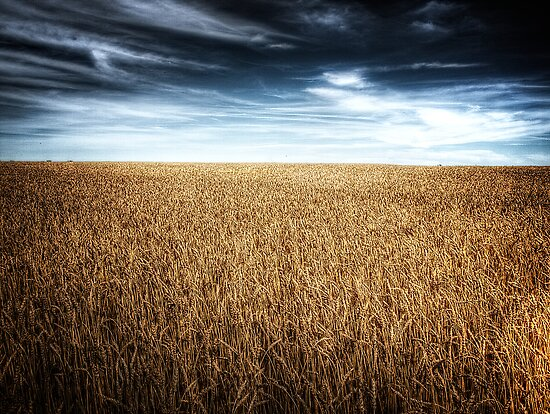 Alberta Wheat Field by Myron Watamaniuk