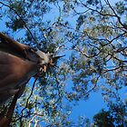 Gum Trees by voir