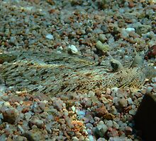 Panther Flounder by cooperscuba
