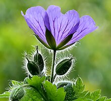Wild Blue Geraniums by Susie Peek