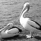 Pelicans in Black and White by pennyswork