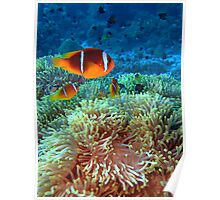Anemone fish Poster