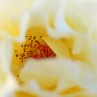 Yellow Velvet Rose by Philip Werner