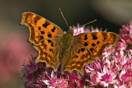 Comma (Nymphalis c-album) by Steve  Liptrot