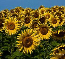 Sunflower Children by Tim Denny