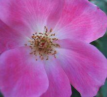 Dashing Rose by MarianBendeth