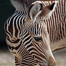 Baby Zebra by Krys Bailey
