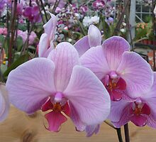 Pink Orchids by Barry Norton