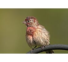 Puffed up, Proud, and Perky Finch Photographic Print