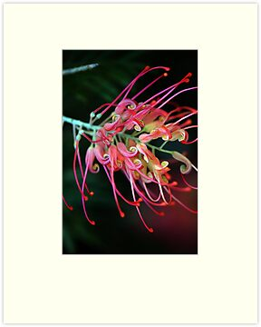 Spider Flower by Renee Hubbard Fine Art Photography