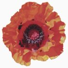"Spectacular Poppy (Papaver Orientale ""Allegro"") by Philip Mitchell"