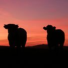 Pink Cows  Derry Ireland by mikequigley