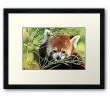 Red Panda in Bamboo Framed Print