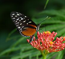 Heliconius hecale  by DutchLumix