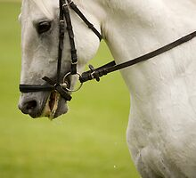 lipizanner horse in Slovenia by Ian Middleton