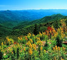 GOLDENROD,BLUE RIDGE PARKWAY, N.C. by Chuck Wickham