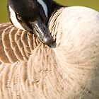 Canada goose by Ian Middleton
