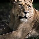 The Lioness by shutterjunkie