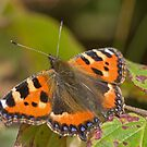 Small Tortoiseshell - Butterfly by Jon Lees