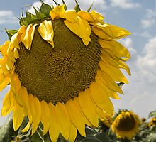 Sunflower Droop by Donna Adamski