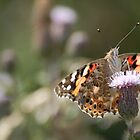 Eyed up by a Painted Lady by FelicityB