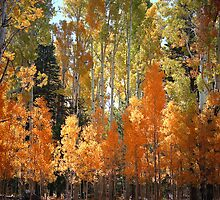 Aspen foliage by Rees Gordon