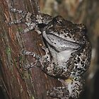 Eastern Gray Treefrog by main1