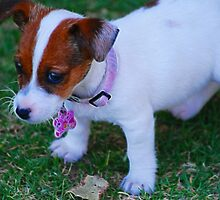 Baby Jack Russell by laureenr