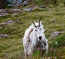 Mountain Goat Molting by Gene  Tewksbury