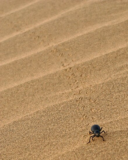 Dung Beetle, Thar Desert, Rajasthan, India by Scootarts