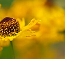 Cosy Coreopsis by Sarah-fiona Helme
