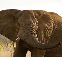 Elephant at Kruger Parc by Sturmlechner