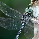 Canada Darner Portrait by Wolf Read