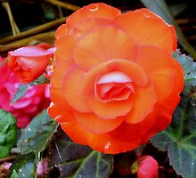 Begonia by Barry Norton
