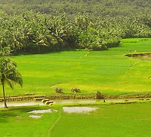 Musuguppe paddy fields: pano by Dinni H