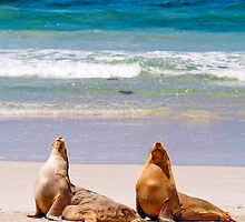 Two Australian Sea Lions drying off at Seal Bay by Elana Bailey