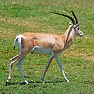Grant's Gazelle, Ngorongoro Crater, Tanzania, Africa by Adrian Paul