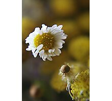 White light (from wild flowers collection) Photographic Print