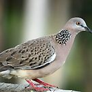 Streptopelia chinensis  (Spotted Turtle Dove) by Magee