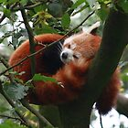 Panda snooze by theBFG