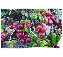 Wild Moss Cranberries Poster
