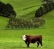 Hereford bull - Gippsland by Tony Middleton