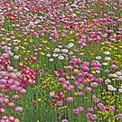 A Carpet of Native Flowers, Kings Park, Perth, Western Australia by Adrian Paul