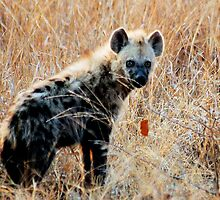 THE SPOTTED HYAENA - Powerful and treacherous... by Magaret Meintjes