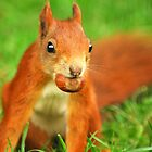 Red Squirrel with a nut by Anthony Hedger Photography