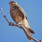 Brown Falcon, Alice Springs, Northern Territory, Australia by Adrian Paul