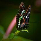 Lorquin's Admiral by David Friederich