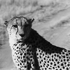 Cheetah Pose by Susan Chandler