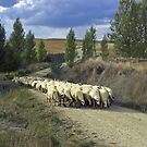 sheep on the trail, tierra de campos by Christopher Barton