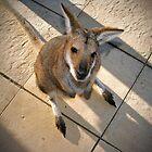 Kangaroo by annadavies